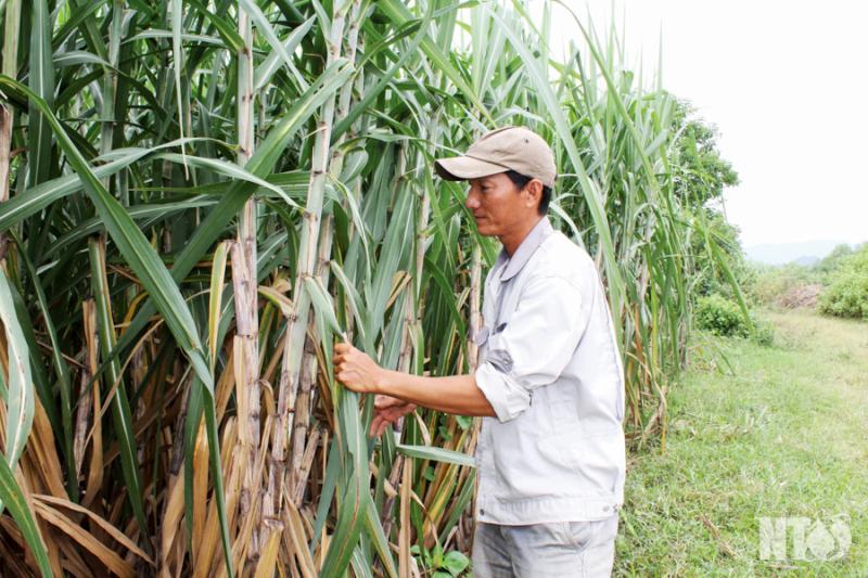 Ninh Sơn đẩy mạnh liên kết sản xuất cây nguyên liệu phục vụ công nghiệp chế biến